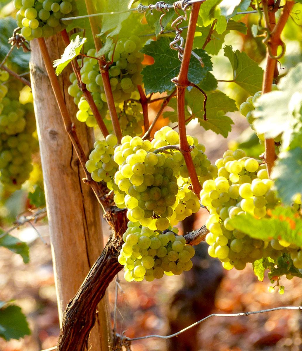 Riesling Vs. Torrontés: Zwei emblematische Weißweine mit vielen Gemeinsamkeiten